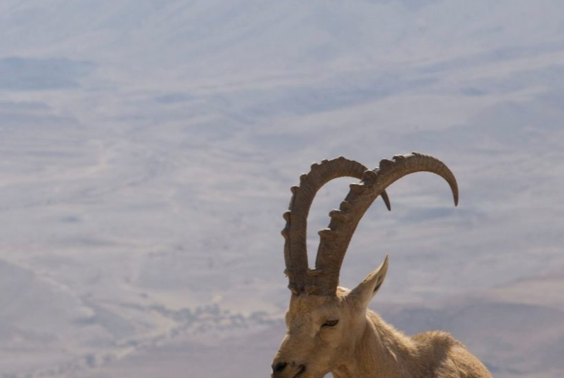 goat in wilderness featured